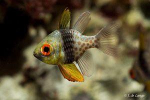 Sphaeramia nematoptera - Pajama Cardinalfish