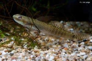 Stiphodon elegans - Male