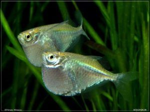Thoracocharax stellatus - Spotfin Hatchetfish