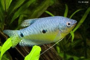 Trichopodus trichopterus - Three Spot Gourami