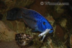 Tyrannochromis nigriventer - Feeding on small fish