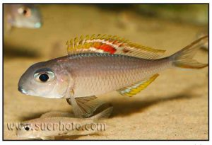 Xenotilapia nigrolabiata - Red Princess