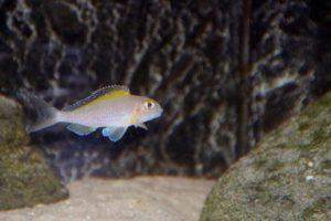Xenotilapia spiloptera - Kipilli