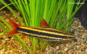 Anostomus anostomus - Striped Headstander