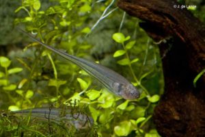Eigenmannia virescens - Glass Knifefish
