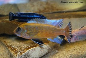 Labeotropheus trewavasae - Chilumba