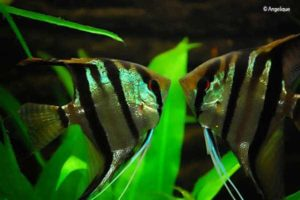 Pterophyllum scalare - Angelfish