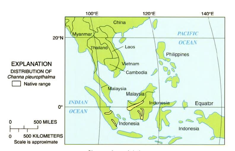 Channa pleurophthalma -Ocellated Snakehead 1