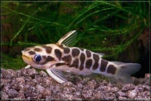 Centromochlus perugiae - Honeycomb catfish