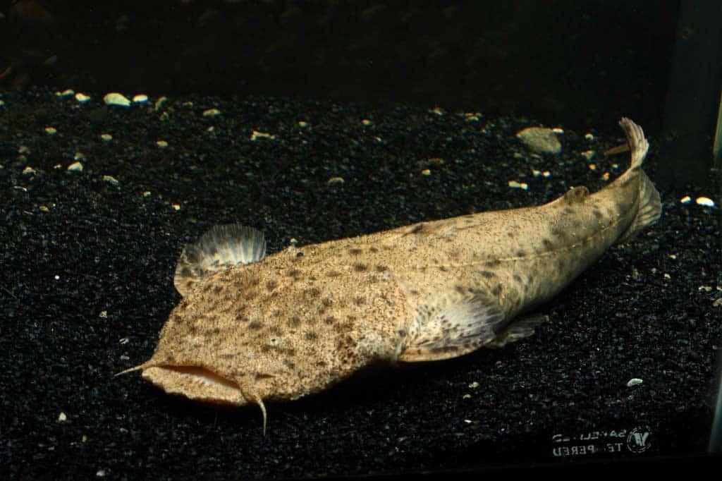 Lophiosilurus alexandri