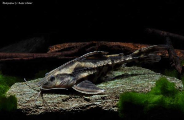 Megadoloras uranuscopus