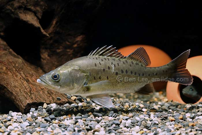 Lateolabrax japonicus - Japanese Seabass