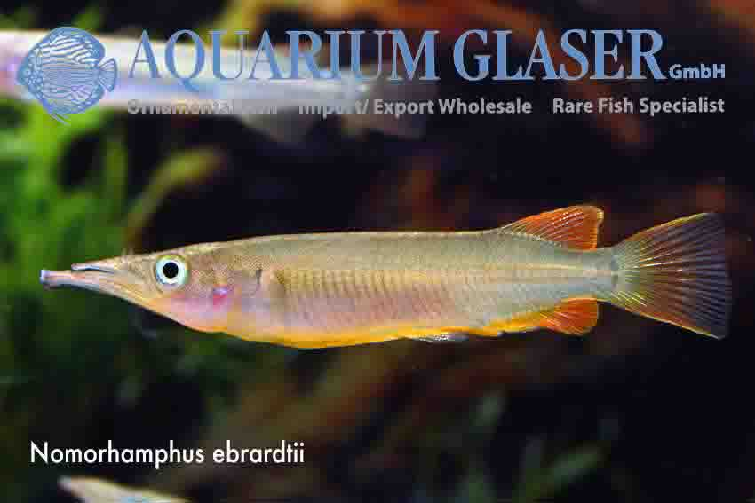 Zenarchopteridae