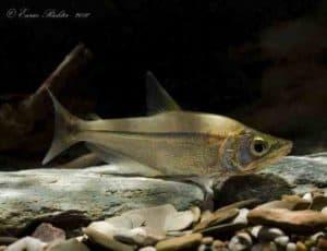 Galeocharax