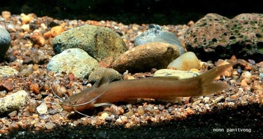 Amblycipitidae