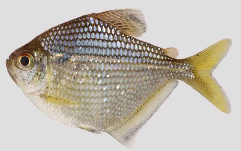 New Species: Brachychalcinus reisi 1