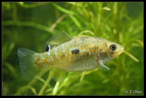 Jordanella floridae - American-Flag Fish - Female