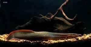 Mastacembelus erythrotaenia - Fire Eel