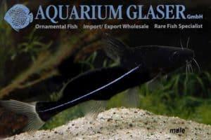 Bagrichthys macracanthus - Male