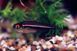 Hyphessobrycon heterorhabdus