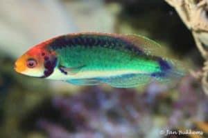 Cirrhilabrus solorensis - Red-eye Wrasse