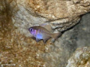 Zoramia leptacantha - Threadfin Cardinalfish