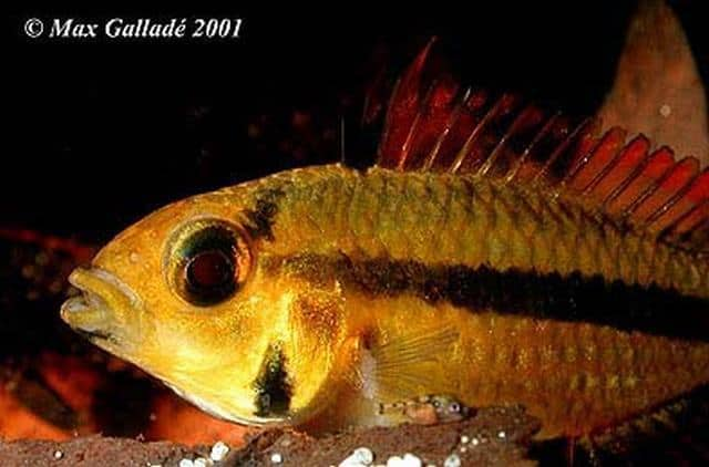 Apistogramma cacatuoides female with two day old fry