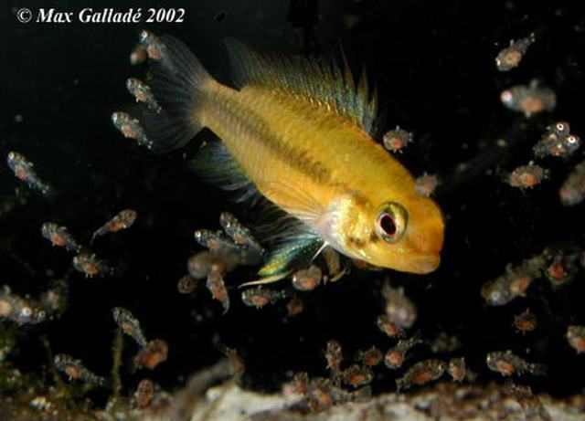 Apistogramma trifasciata female surrounded by her school of one week old fry