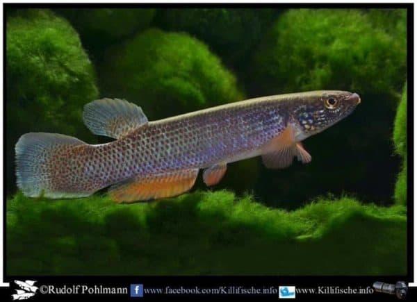 Anablepsoides igneus - Cascade Fourgassier