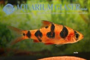 Desmopuntius rhomboocellatus - Male