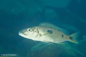 Exocochromis anagenys - Chiloelo - Mozambique