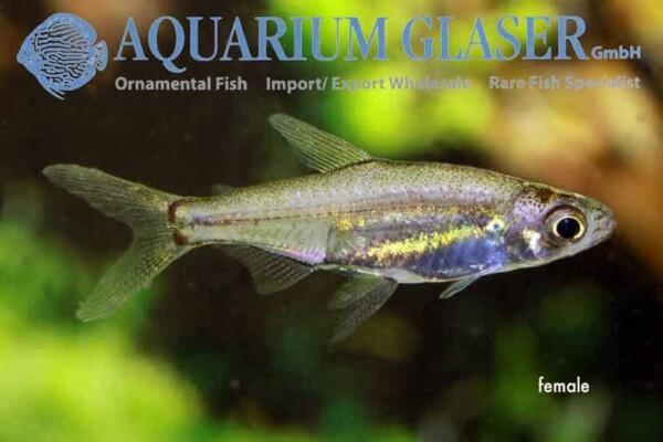 Lepidarchus adonis - Female