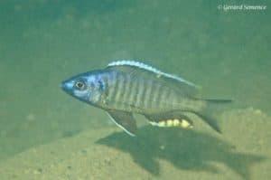 Mchenga thinos - Nkhomo Reef