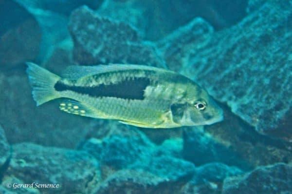 Naevochromis crysogaster - Katal Island