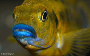 Pseudotropheus williamsi - North Makonde - Blue Lips