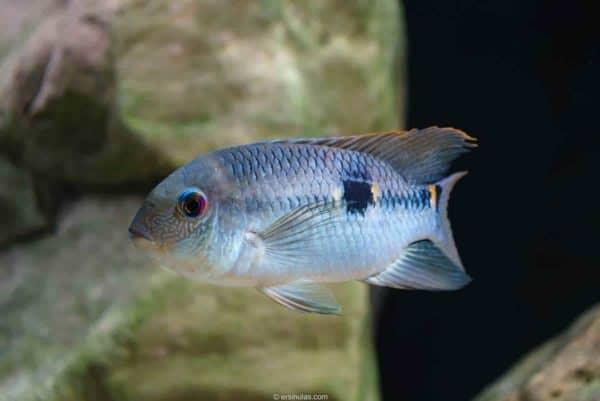 Aequidens pallidus - Doublespot Acara