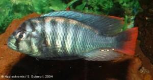 Haplochromis rufocaudalis - Saa Nane - Male