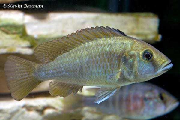 Astatotilapia calliptera - Female