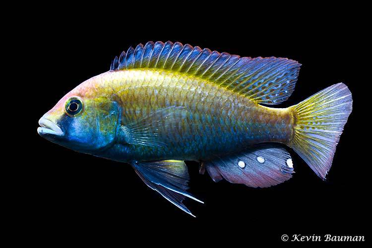 Astatotilapia calliptera - Male