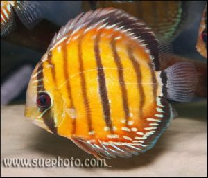 Symphysodon aequifasciatus - Red with Red Eyes Barra Mansa