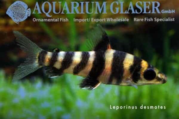Leporinus desmotes juvenile