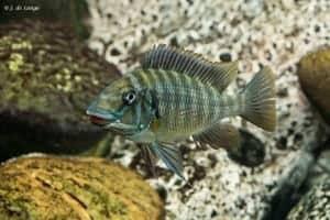 Petrochromis macrognathus - Kachese