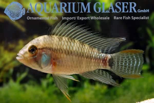 Apistogramma eunotus - Rio Tapiche - male