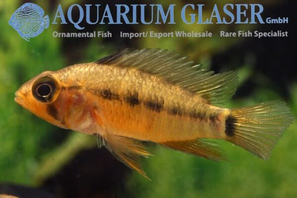 Apistogramma eunotus - Rio Tapiche - female