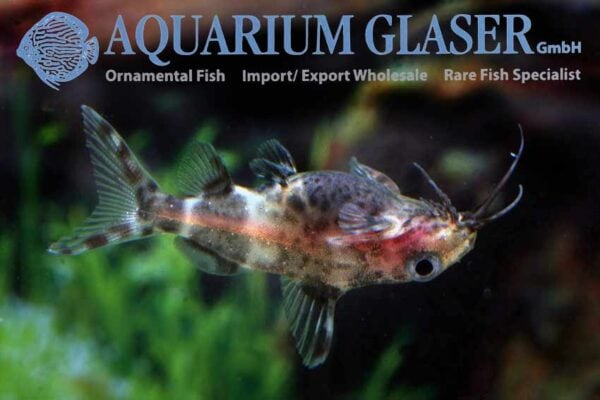 Synodontis nigriventris - Upsidedown Catfish