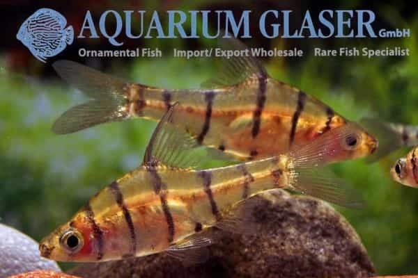 Eirmotus octozona - Eightbarrred Barb