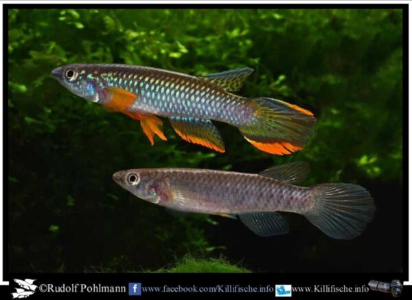 Epiplatys olbrechtsi - Male and Female