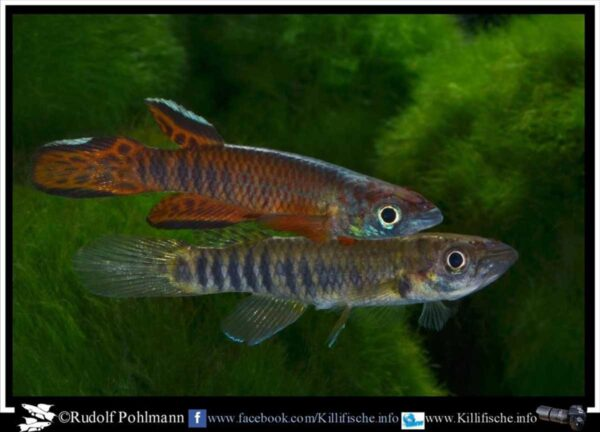 Epiplatys roloffi - RL-99 - Male and Female