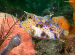 Lactoria fornasini - Thornback Cowfish