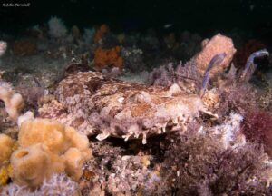 Wobbegongs